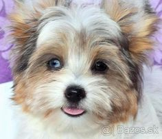 Yorkshirsky terier , Blueberry merle s PP - 1 Biewer Yorkie, Kenzo, Blueberry, Puppies, Dogs, Animals, Animales, Animaux, Doggies