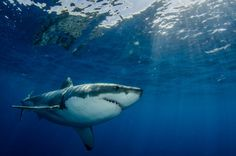 The world's only captive great white shark has died just three days after being placed ina Japanese aquarium. The great white shark (Carcharodon carcharias) was brought to Okinawa Churaumi Aquarium on Tuesday after it was accidently caught in a net off the southwest coast of Japan. Measuring a moderate 3.5 meters (11.5 feet), the male shark had refused to eat since it was captured.