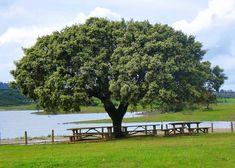 O Assobiador- Sobreiro mais velho do mundo em Águas de Moura. Alentejo Portugal