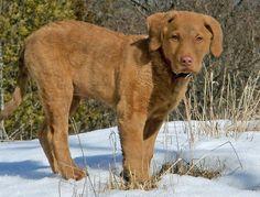 chesapeake bay retriever! http://media-cache9.pinterest.com/upload/51298883225594063_cHKWUk8x_f.jpg laurawt puppies