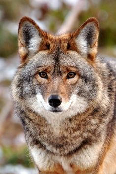 I think this is a coy-wolf - In the wild wolves and coyotes have actually interbred