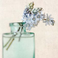 Striped Squill Flower Photography Print by Allison Trentelman