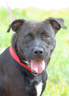 Adopt Allen, an active 1-1/2-year-old lab/pit mix. Allen is a friendly guy who gets along with other dogs and cats. Allen has a short black coat with a white blaze.He is available through St. Charles City Animal Control, 636-949-3395.