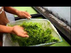 Duckweed Harvesting & Fish Feeding - Autopot Aquaponics