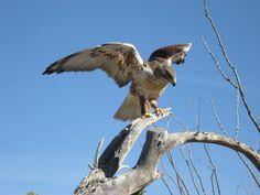 Hawk coming in for landing during Birds of Prey flight at the Arizona-Sonora Desert Museum in Tucson, Az.