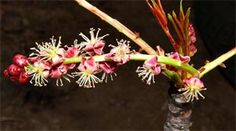 marula flowers