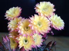 Echinopsis ripdite