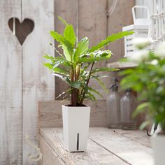www.easy-indoorplants.com >> Elke plant wordt geleverd in een stijlvolle pot met het unieke Waterfresh® watergeefsysteem. Deze geeft je plant automatisch water wanneer hij dorstig is.