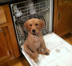 When this dude thought the dishwasher was his chair. | 23 Times Golden Retriever Puppies Were Huge Dweebs