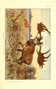 Cervus euryceros. Tierbau und tierleben in ihrem zusammenhang betrachtet v.1 Leipzig, und BerlinB. G. Teubner,1910-14. Biodiversitylibrary. Biodivlibrary. BHL. Biodiversity Heritage Library
