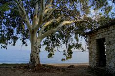 The very beautiful Eucalyptus on Barbati beach, Corfu