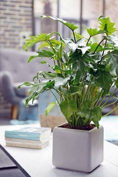 Cultivando plantas tropicales de interior plantas Plantas tropicales interior