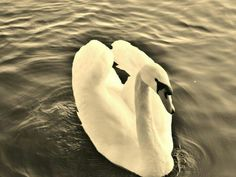'Swan', Princes park Eastbourne