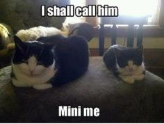 Photo of Mini Me for fans of Animal Humor. XDDDDDDD I found this cute and funny lol Animal Memes, Funny Animals, Cute Animals, Animal Funnies, Animal Sayings, Animal Antics, Baby Animals, Crazy Cat Lady, Crazy Cats