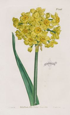 Yellow Garden #Narcissus No. 1026 from William Curtis Botanical Magazine 1787-1817.