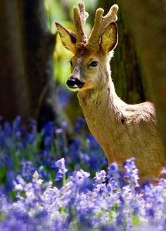 A Deer ~ In Bluebell Woods.