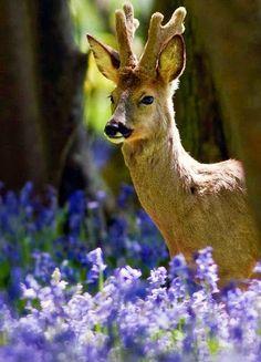 A Deer ~ In Bluebell Woods.