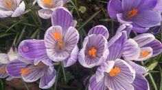 Purple and white crocus flowers. RaeBattesonArt