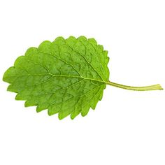 Lemon Balm: Nice added to black tea. Fresh leaves can be chopped & added to green salads, fruits salads, marinated vegetables, poultry stuffing, fish marinades & sauces. It goes well with broccoli, asparagus, lamb, fish, & shellfish. Combine it with other lemon herbs such as lemon thyme, lemon basil, & lemon verbena & add to vinegar.