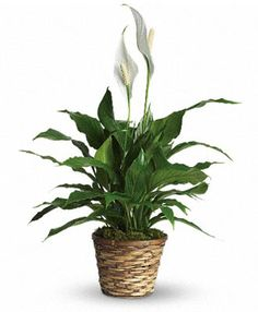 Simply Elegant Spathiphyllum - Small. $54.95 Leafy Plants, Small Potted Plants, Best Indoor Plants, Green Plants, Hanging Plants, Pot Plants, Sympathy Plants, Sympathy Flowers, Father's Day Flowers