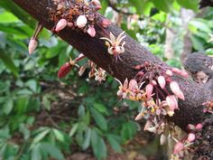 Flowers of the chocolate tree, Theobroma cacao.