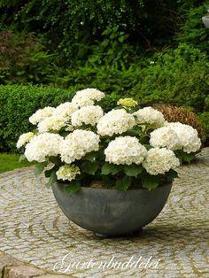 white hydrangea in bowl pot