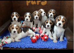 A Bevy of Beagle Beauties.