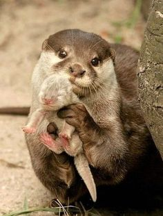 Otter showing it's baby. I love otters! Otters love u! Baby Otters, Cute Baby Animals, Animals And Pets, Funny Animals, Wild Animals, Otters Funny, Newborn Animals, Cute Animals With Funny Captions, Funniest Animals