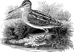 The Common Snipe , a wood engraving by Thomas Bewick in about 1797 ...