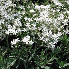 Gypsophila paniculata 'Snowflake' Baby's Breath from Ebert's Greenhouse Village