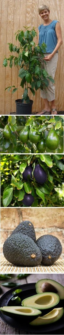 Cold Hardy Avocado | outdoors during winter, bring it in for summer. Lovely to look at and produces fruit to boot!
