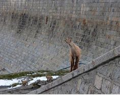 Dam goats near Gran Paradiso National Park in Northern Italy