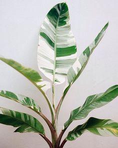 house plants 859413541373549163 - Royal variegated banana (Ranggakuzuma) Source by freiraumreh Best Indoor Plants, Cool Plants, Green Plants, Tropical Plants, Indoor Cactus, Hawaiian Plants, Indoor Herbs, White Plants, Unusual Plants