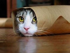 If there is no box available, cats love bags.