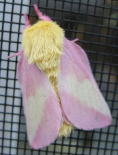 Yellow and Pink Moth