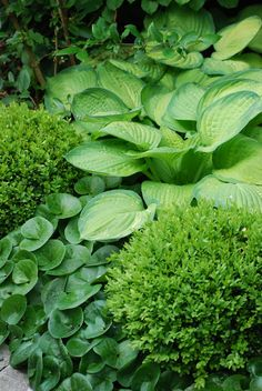 Boxwood and Hostas ~ Great texture changes. Below hostas is an American Ginger, a great plant semi shade or shade. Shade Garden, Garden Plants, Boxwood Garden, Backyard Shade, Garden Shrubs, Garden Art, Outdoor Plants, Outdoor Gardens, Buxus