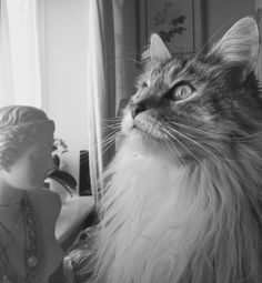 Serefina. Maine coon cat.