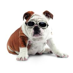 At Doggie Diva! You are Online Dog Boutique for Everything Fun, Sporty and Trendy for Dogs at affordable price! The Doggie Diva Dog Boutique the largest luxury, dog boutique online, big dog store & sports and college pet apparel shop all wrapped up in one, online