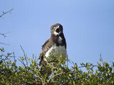 Southern Banded Snake Eagle (Circaetus fasciolatus) joe-mcdonald, masai-mara-game-reserve-kenya-africa.