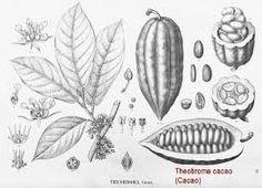"""Képtalálat a következőre: """"Theobroma cacao"""""""