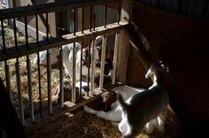 building a creep feeder - The Goat Spot - Goat Forum