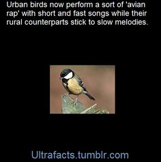"""Birds living in cities are performing a type of """"avian rap"""" while their rural counterparts are sticking to more traditional sounds, a study shows.  Dutch researchers found that urban species of birds sing short, fast songs rather than the slower melodies of countryside birds.  City birds also sing at a higher pitch and will try out different song types.  Experts said city birds have adapted to counter background noise and increase their chances of finding a mate."""