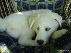 BP is an adoptable Great Pyrenees Dog in Winston-Salem, NC. BP is one of Diva's mixed pups, we think they are Pyr/Malamute or Husky mix.  She is 3 monthsold and had her  puppy shot, Rabiess and deworm...