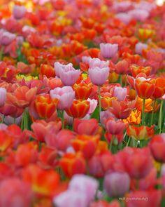 ゚・*:.。 . どっちの色がお好きですか? . . 撮影 2018.4.10 #チューリップ#昭和記念公園 #一眼勉強中 #lumixgf9 #wp_flower #loves_garden #rainbow_petals_ #superb_flowers…