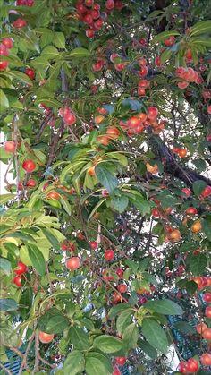fruitful plum tree in Rome Italy  http;//www.just-commerce.net