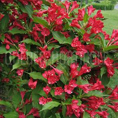 Gardening Hacks That Anyone Can Use Weigela Red Prince, Horticulture, Garden Plants, Gardening Tips, Planting Flowers, Canning, Rock, Image, Photos
