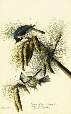 Tufted Titmouse (Baeolophus bicolor), John James Audubon - Study for Havell pl. 39, 1822.