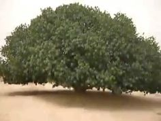 Pohon SAHABI  Pohon Sahabi yang menjadi saksi bisu pertemuan Nabi Muhammad SAW dengan Biarawan Kristen bernama Bahira. Telah ditemukan kembali oleh Pangeran Ghazi bin Muhammad dan otoritas pemerintah Yordania. ketika memeriksa arsip negara di Royal Archives.  Mereka menemukan referensi dari  teks-teks kuno yang menyebutkan bahwa Pohon Sahabi Berada di wilayah padang pasir diutara Yordania.  Setelah 1400 tahun berlalu  pohon ini ditemukan masih hidup dan tetap tumbuh kokoh di tengah ganasnya…