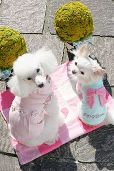 1364225c8161 Fifi & Romeo. 100% recycled cashmere hand-made sweaters modeled by  Momo. Chihuahua NamesTeacup ...