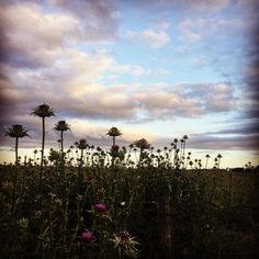 Pretty evening light and a sea of neon thistles #OakandMonkeyPuzzle #SpargoCreek #Daylesford #countryliving #pretty #weeds #neon #thistle #flowers #thesimplethings #light #cloudporn #skylove #cultivate #forage #preserve